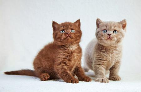cabello corto: dos gatitos pelo corto brit�nico