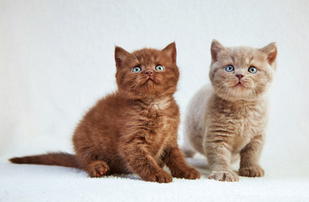british short hair: two british short hair kittens