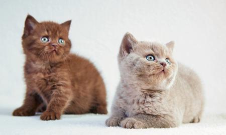 cabello corto: dos gatitos de pelo corto brit�nico, enfoque selectivo