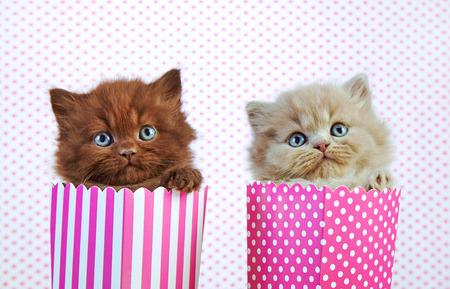 kitten: two british long hair kittens