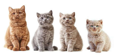 cute pussy: various british kittens isolated on white background Stock Photo