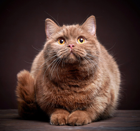Portrait of british short hair cat on dark background Stock Photo