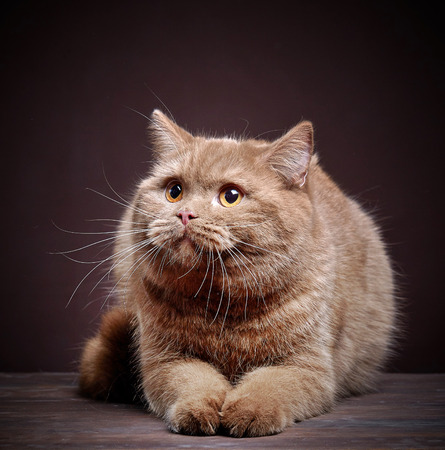 british short hair: Portrait of british short hair cat on dark background Stock Photo