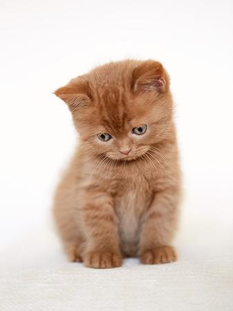 looking at baby: sad british short hair kitten sitting on sofa, selective focus