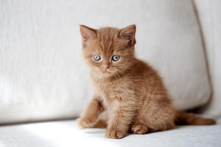 beautiful small british short hair kitten sitting on sofa, selective focus