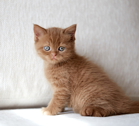 british short hair: beautiful british short hair kitten sitting on sofa, selective focus