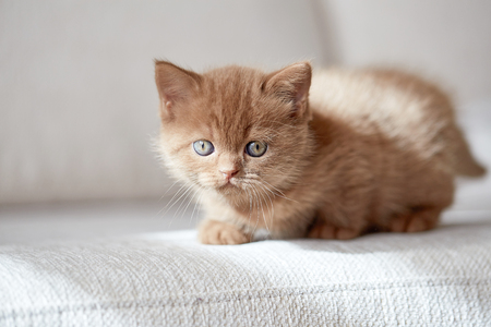 color hair: beautiful cinnamon color british short hair kitten on white sofa, selective focus