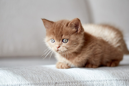 british short hair: beautiful cinnamon color british short hair kitten on white sofa, selective focus