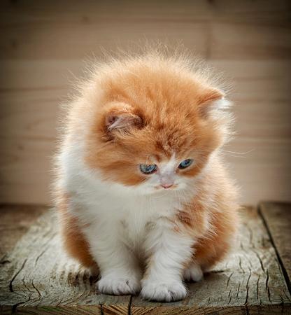 baby  pussy: beautiful british long hair kitten sitting on wooden floor