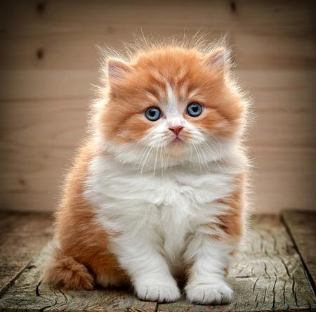 hermoso gatito británico de pelo largo que se sienta en suelo de madera