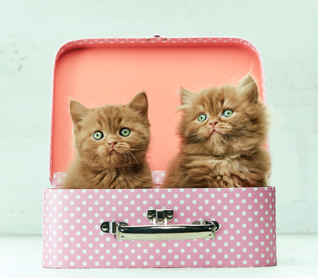 pink pussy: two kittens sitting in pink bag, selective focus, filtered image