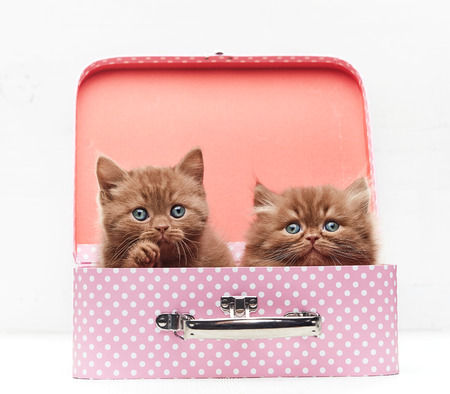 beautiful kittens sitting in pink suitcase