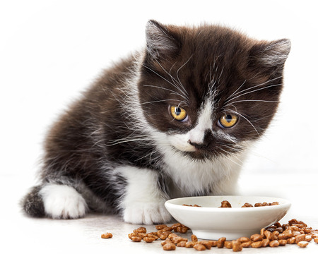 british food: kitten and bowl of cat food