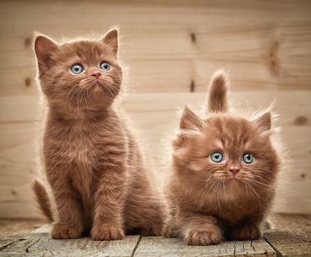 two brown british kittens on wooden background 免版税图像