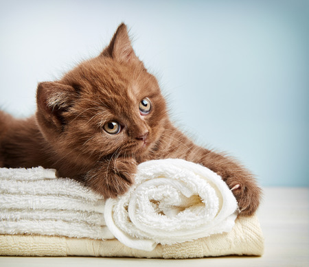 british short hair: portrait of brown british short hair kitten sitting on towels