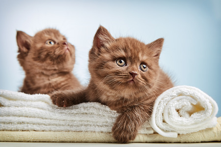 cabello corto: retrato de color marrón gatito británico de pelo corto que se sienta en las toallas