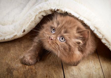 longhair: brown british longhair kitten on wooden floor under plaid Stock Photo