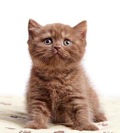 cabello corto: retrato de marr�n gatito brit�nico de pelo corto