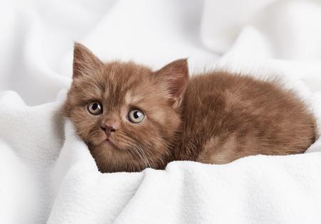 cabello corto: retrato de marrón gatito británico de pelo corto