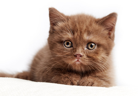 british short hair: portrait of brown british short hair kitten