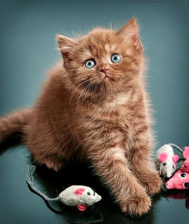 baby  pussy: portrait of brown british short hair kitten