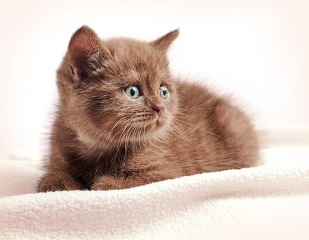 british pussy: portrait of brown british short hair kitten on sofa