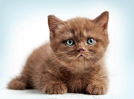 portrait of brown british short hair kitten