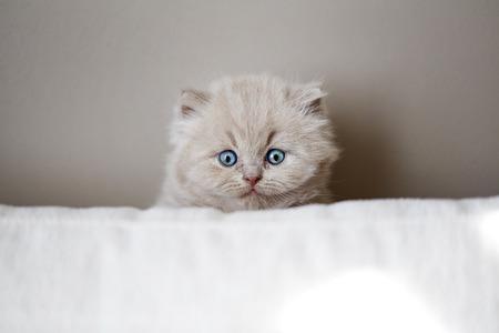 baby  pussy: british kitten sitting behind the sofa