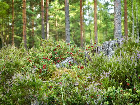 beautiful wild forest closeup with heather flowers and berries Stock fotó