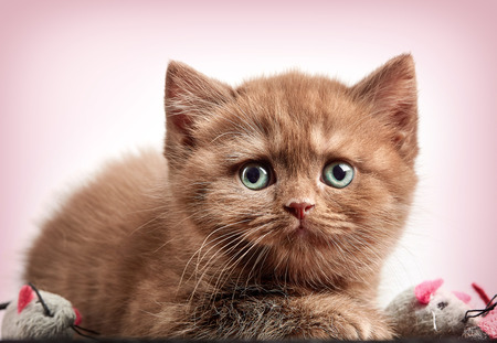 pink pussy: portrait of brown british short hair kitten on pink background Stock Photo