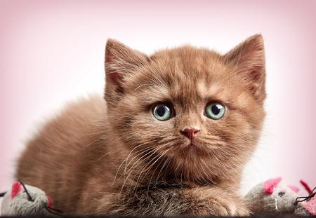 portrait of brown british short hair kitten on pink background Stock Photo