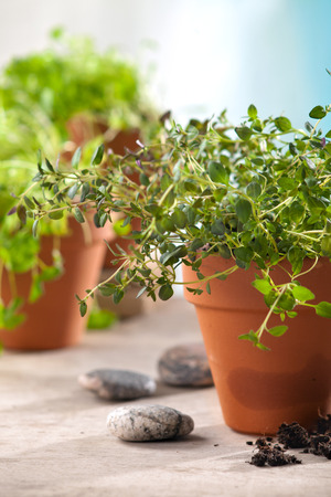 green herbs: fresh green herbs in pots on kitchen table Stock Photo
