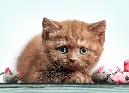 cute kittens: portrait of brown british short hair kitten