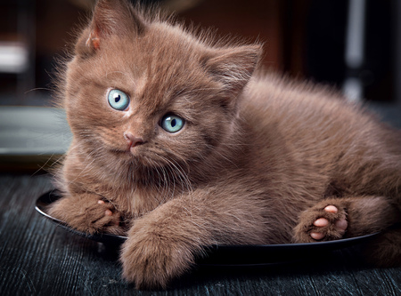 Brown hungry british kitten on black plate