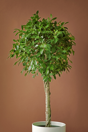 Pot of Ficus tree on a brown background Stock fotó