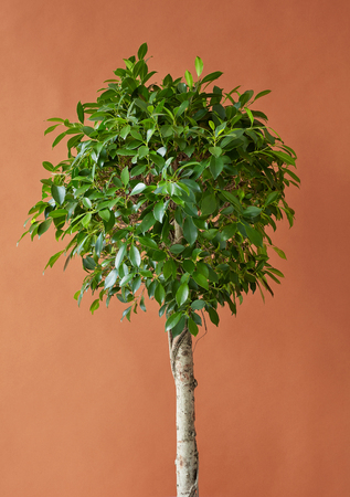 Ficus tree on a brown paper background Stock fotó