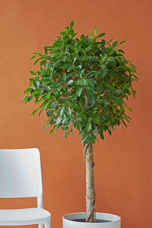 Ficus tree and white chair on a brown paper background Stock fotó