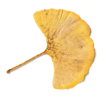 yellow leaf of ginkgo biloba isolated on white background Stock fotó
