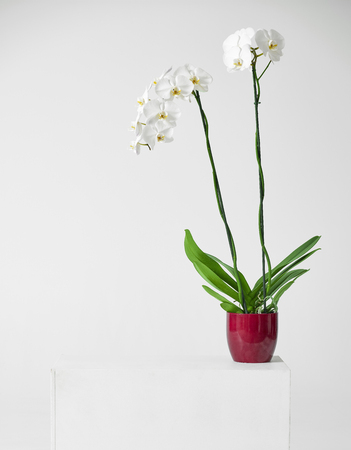 blooming white orchid flower in red pot