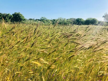 Field of grain on sunny day