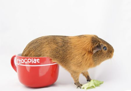 guinea pig  Stock Photo - 3592510