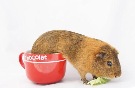 guinea pig  Stock Photo - 3592513