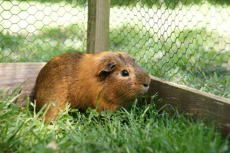 guinea pig Stock Photo - 3592569
