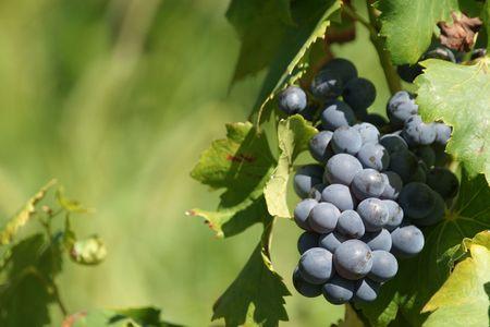 wijnbladeren: zwart druiven, wijn gaarden, wijn gaarden, korrels, druiven, voedsel, fruit, oogst seizoen, druiven bladeren, natuur,  Stockfoto