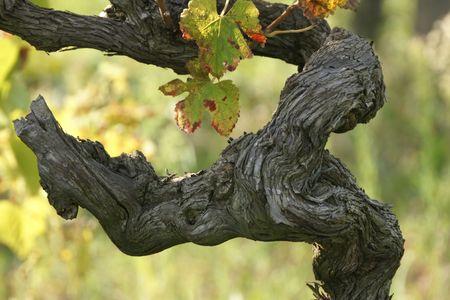 wijnbladeren: cluster, zwarte druiven, graan, wijn gaarden, opname, oogsten, wijn, wijn stok bladeren, wijn, bijkantoor, oude,