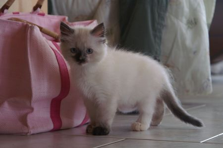 blue siamese cat: cat, kitten, cute, animal, child, young, hair, blue eyes, cat, race, Siamese, look,