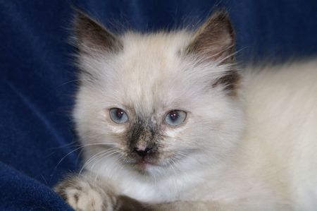 blue siamese cat: cat, kitten, cute, animal, child, young, hair, blue eyes, cat, race, Siamese,