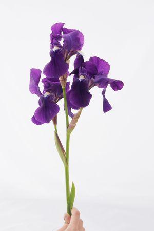 アイリスの花の花びら 写真素材