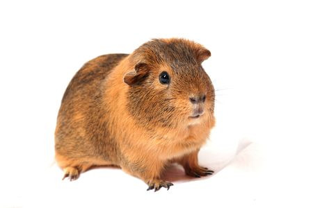 companion: guinea pig, animal companion, pet, rodent, brown hair, white background,