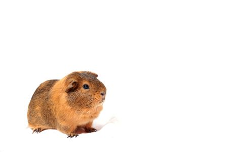 companion: guinea pig, animal companion, pet, rodent, brown hair, white background, expression, Stock Photo